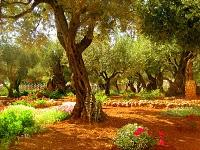 Gethsemane Olive Grove