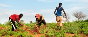Boys weed a field of bambara nut close to Segou, Mali on August 25 2011.